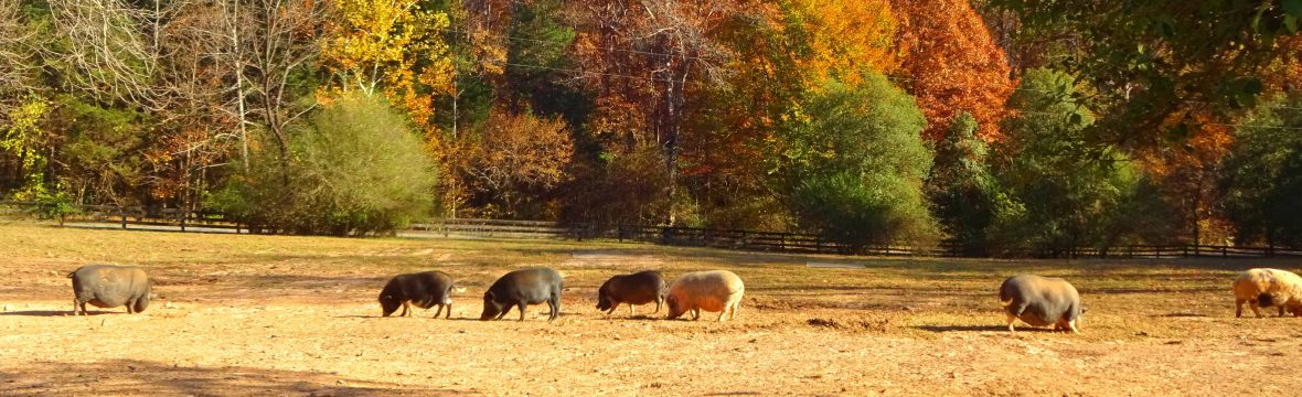 MEET THE ANIMALS – THE WHITE PIG ANIMAL SANCTUARY